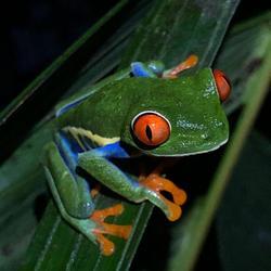 Kikker Costa Rica