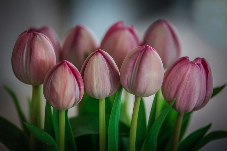 Tulips from .....