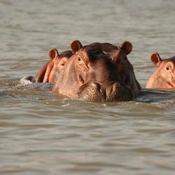 Hippo's bij Arba Minch