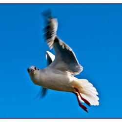 Meeuw in vlucht