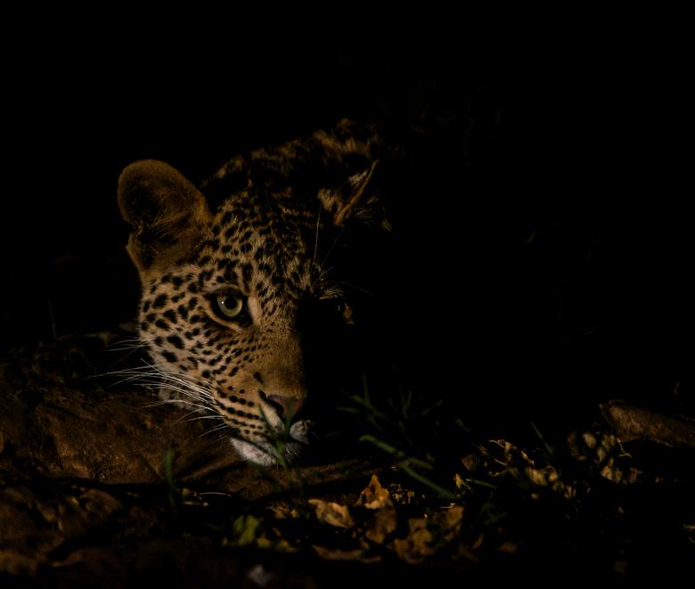 Leopard by night - we vonden deze 1 jarige luipaard in een droge rivierbedding.