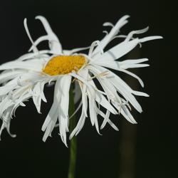 warrige bloem