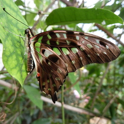 graphium agamemnon agamemnon tailed jay .JPG