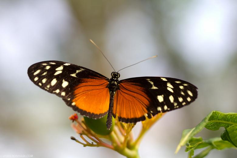 Vlinder  - 1 van de prachtige exemplaren in de vlindertuin in Artis.