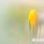 Gele krokus