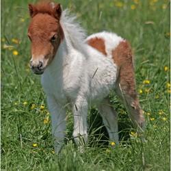 Schattige kleine pony