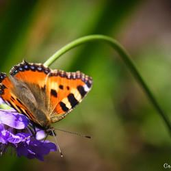vlinder & bloem