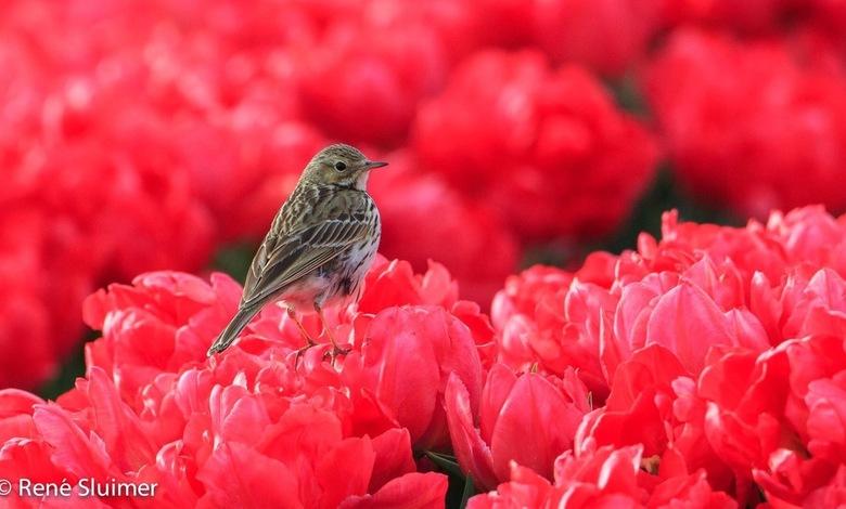 Graspieper  - Graspieper op de rode tulpen in de Noordoostpolder.
