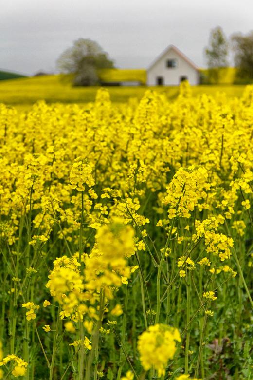 Zweden, velden vol met koolzaad...