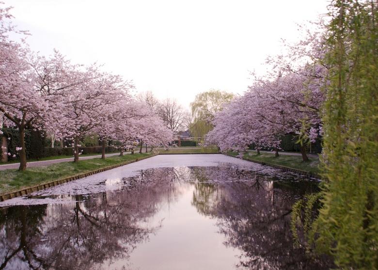 Roze lente reflectie - De lente is in volle hevigheid losgebarsten. Dit lentetafereel trof ik aan in Bussum
