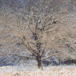 Sneeuw boom.