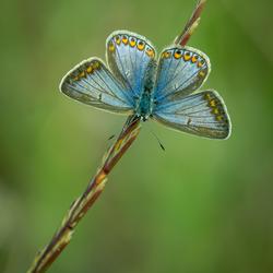 Adonisblauwtje vrouw (vorm Ceronus)