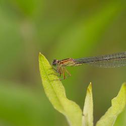 Lantaarntje ( Ischnura elegans)