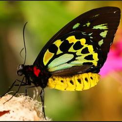 Vogelvlinder