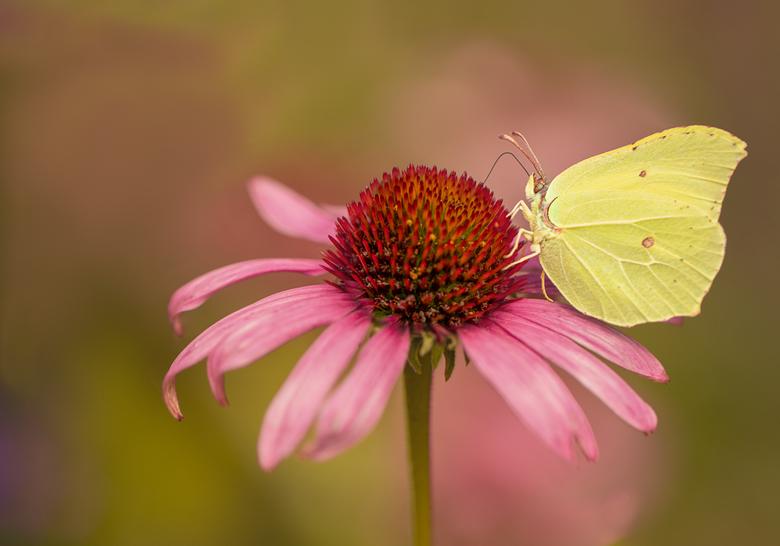 Colors - Ze zijn zo mooi, de grote bloemen van de Rode zonnehoed. En als er dan ook nog een vlindertje op zit! Bij het Natuurcentrum Veluwe in Ede. <b