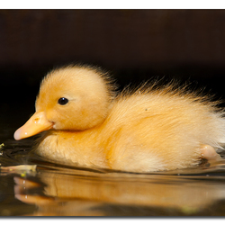 Young ducky