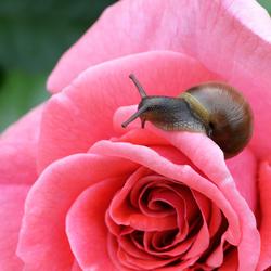 jong slakje op een roos