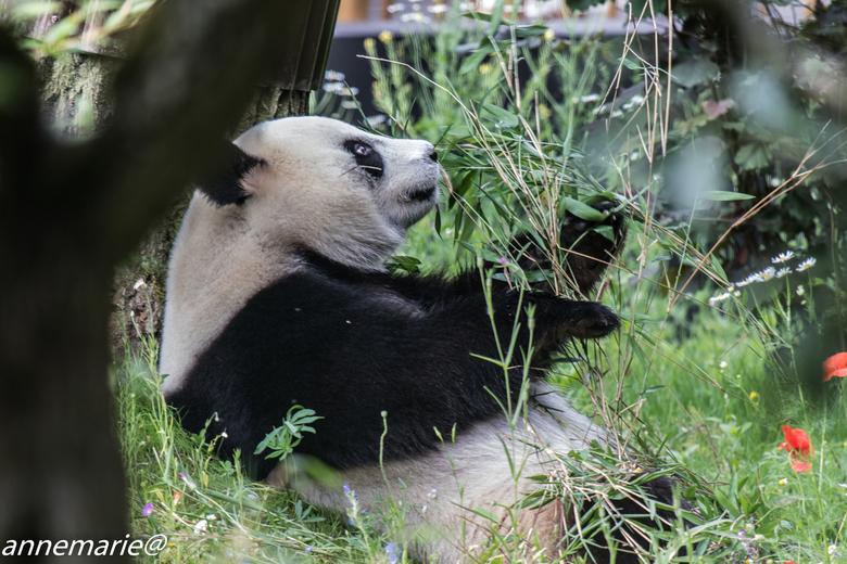 panda Xing Ya