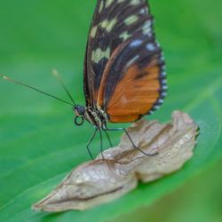 Surfende vlinder.