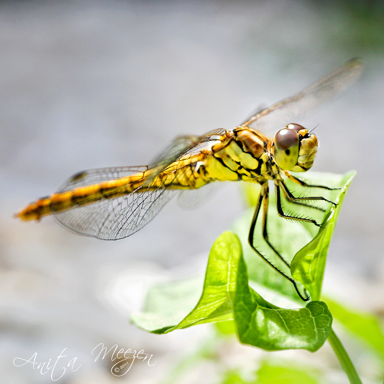 Dragonfly - Bij toeval eentje ontdekt in mijn tuin, had er nog eentje gezien dus moment maar ff gepakt om deze libelle vast te leggen.<br /> het lijk