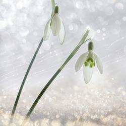 Sneeuwklokjes 5