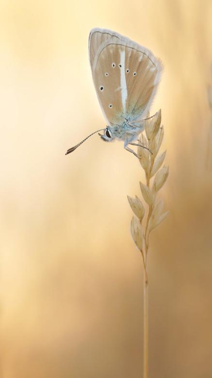 Witstreepblauwtje - Polyommatus damon