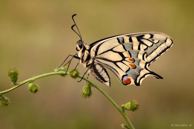 koninginnenpage - Prachtig vlindertje!
