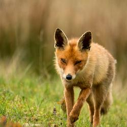 Small-eyed Fox