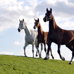 statige paarden