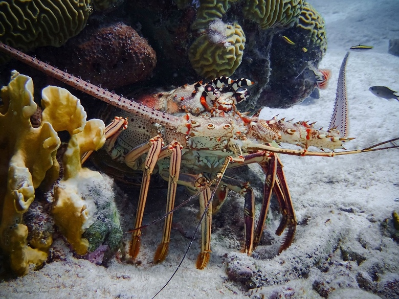 Caribbean Spiny Lobster.  - Een prachtige foto van de Caribbean Spiny Lobster