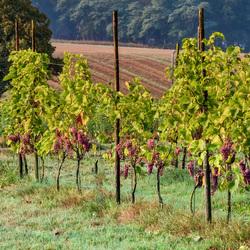 Wijngaard 1