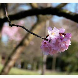 Lente in de Japanse tuin 1