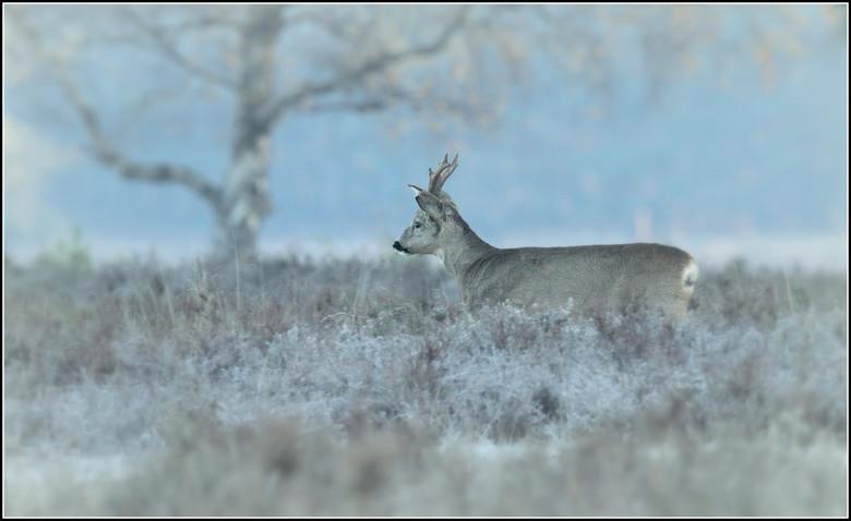 Novemberochtend - Het is koud en op de heide is het prachtig wit van de rijp. Als deze reebok onverwachts voorbij komt richt ik nog snel mijn camera e
