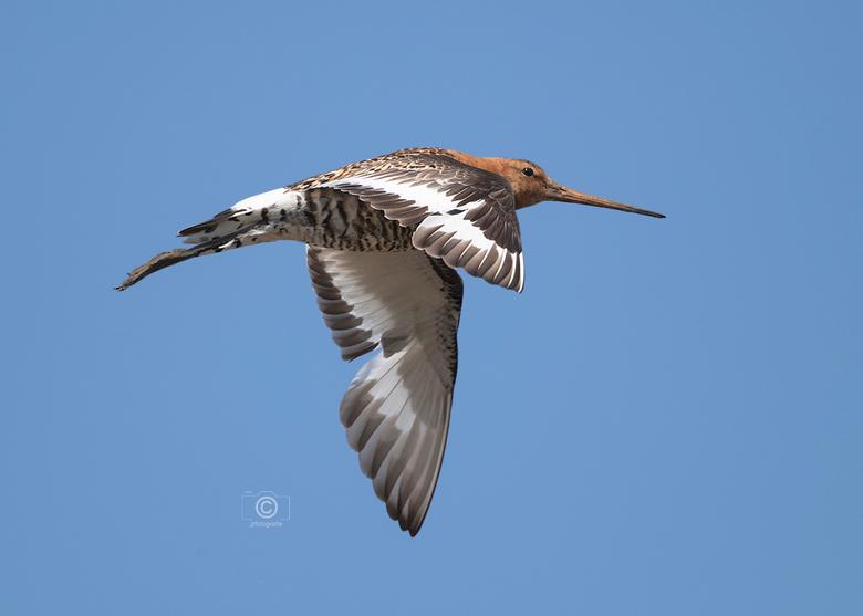 Grutto in vogelvlucht - In de zomer vertrekken de Grutto&#039;s weer naar het verre warme zuiden , <br /> hopelijk komt ook deze mooie vogel volgend