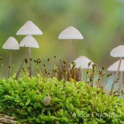 Familie paddenstoel