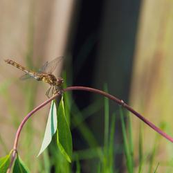 Libelle in de ochtendzon