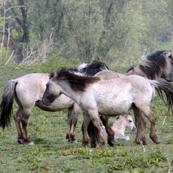 Konikpaarden (OVP)