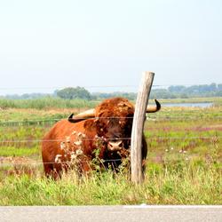 Biesbosch Buffel