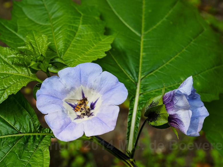 Zegekruid - Het Zegekruid (Nicandra physalodes) een plant uit de nachtschadefamilie (Solanaceae). In het Engels wordt de plant ook wel 'Apple of