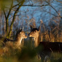Damherten bij Vogelenzang