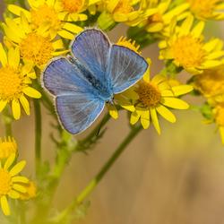 Blauw op geel Olympus style