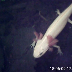 Salamanderlarve