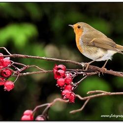 Roodborstje,Robin