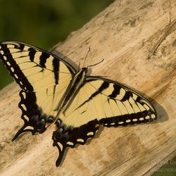 Amerikaanse page / Papilio glaucus