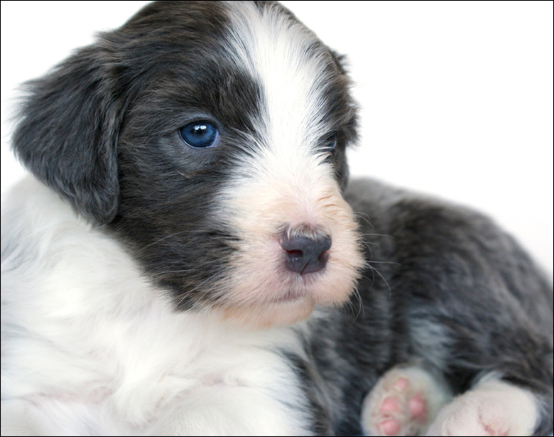 Amy - Bearded Collie pup @ 4 weekjes.<br />