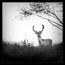 Nieuwsgierigheid van een damhert
