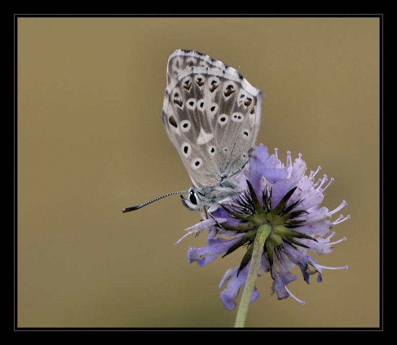 Bleekblauwtje - Nog een bleekblauwtje uit de Viroinvalei .<br /> Opname is met bewolkt weer gemaakt , de achtergrond kleur is ontstaan door de akkers