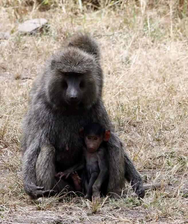 Baboon  - Tijdens het lunchen werden we omsingeld door bavianen. Deze moeder met haar baby observeerde alles van een afstandje.