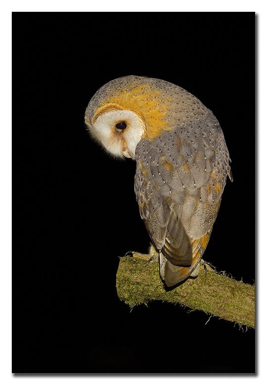 Waar zit het muisje ! - <br /> een kerkuil is een nacht vogel, in de nachtelijke uurtjes, foto&#039;s  mogen maken van deze prachtige roofvogel, gehe