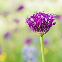 Purple sensation................Sierui (Allium)